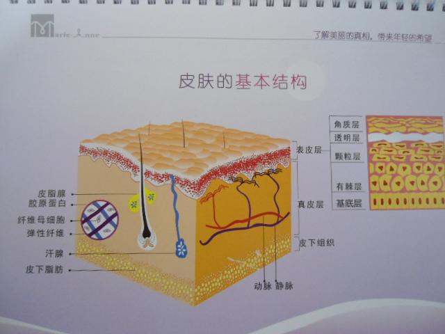 皮肤的基本结构